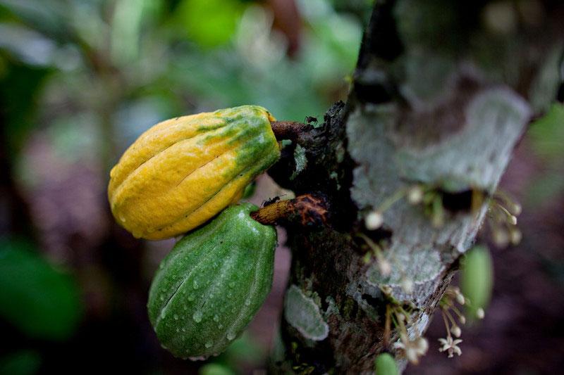 Planta de cacao en Riberalta, Beni, Bolivia. Foto: Oxfam / Patricio Crooker
