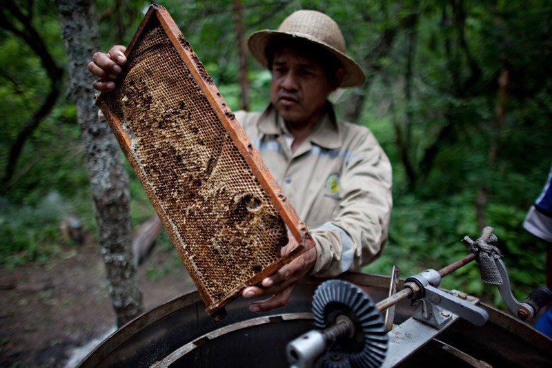 Genaro productor apícola extrayendo miel de un panal junto a otro campesino en la comunidad de Isipotindi, Chaco Boliviano. Foto: Oxfam / Patricio Crooker