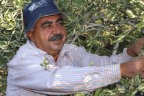 baker harvesting olives