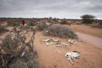 Dead sheep and goats, which died because of the continous drought situation in Somaliland. Photo: Petterik Wiggers/Oxfam