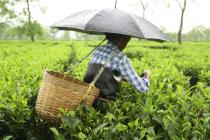 A worker in Assam plucks tea leaves in the rain. Credit: Roanna Rahman/Oxfam