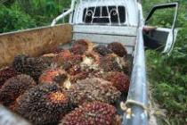 Palm oil fruit, PT Adei plantation, Riau province, Sumatra, Indonesia (2014). Photo: Des Syafrizal/ Oxfam