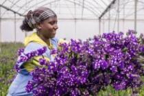 Le Dutch Good Growth Fund a soutenu la culture des roses en Ethiopie grâce aux financements mixtes. Photo: DGGF