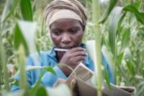 Une femme dans le district de Tsholotsho au Zimbabwe participe à un projet pilote consacré à l'apprentissage de méthodes simples pour cultiver des denrées de façon efficace et au développement de cultures résistantes à la sécheresse. Photo : Sven Torfinn