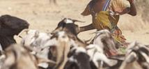 Goats being rounded up for a vaccination program, Chad. Photo: Andy Hall/Oxfam