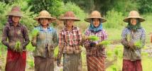 Rice Farmers in Minbu, Myanmar's central Dryzone, Photo: Hein Latt Aung/Oxfam