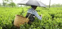 A worker in Assam plucks tea leaves in the rain. Credit: Roanna Rahman/Oxfam