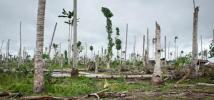 Cocotiers abattus par le typhon Haiyan, aux Philippines.