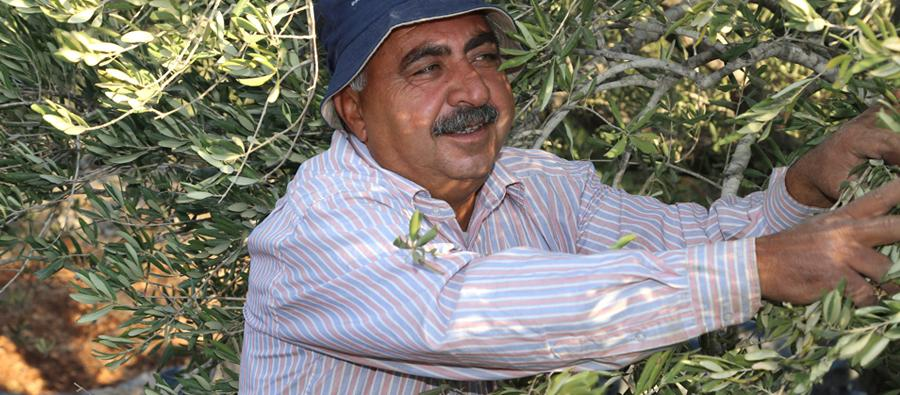 baker harvesting olives