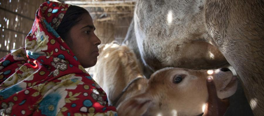 Sakina Begum is a dairy producer and the President of the Taluk Shahabaj producer group, in Kaunia Rangpur, Bangladesh.